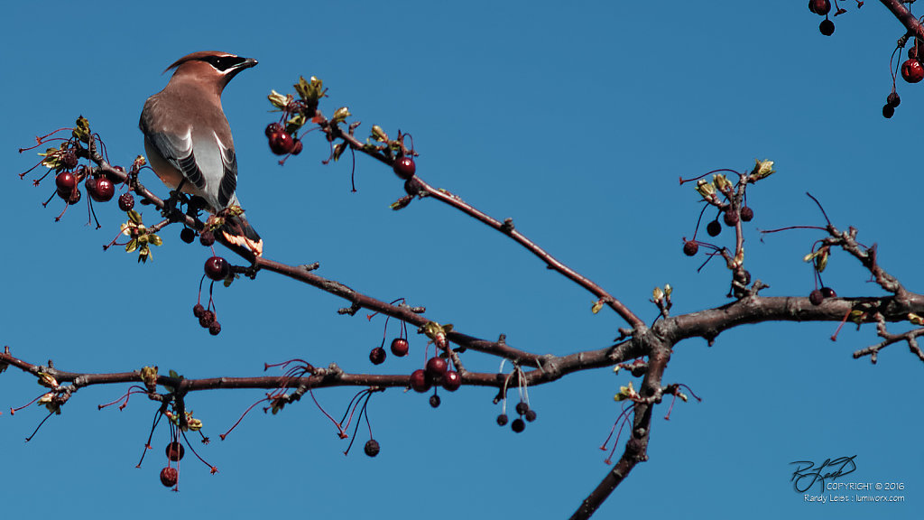 Cedar Waxwing (Diptych - Left panel)