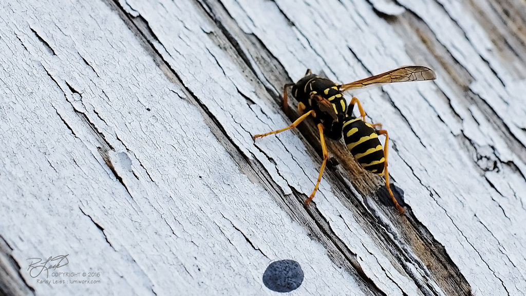 Eastern Yellowjacket 2