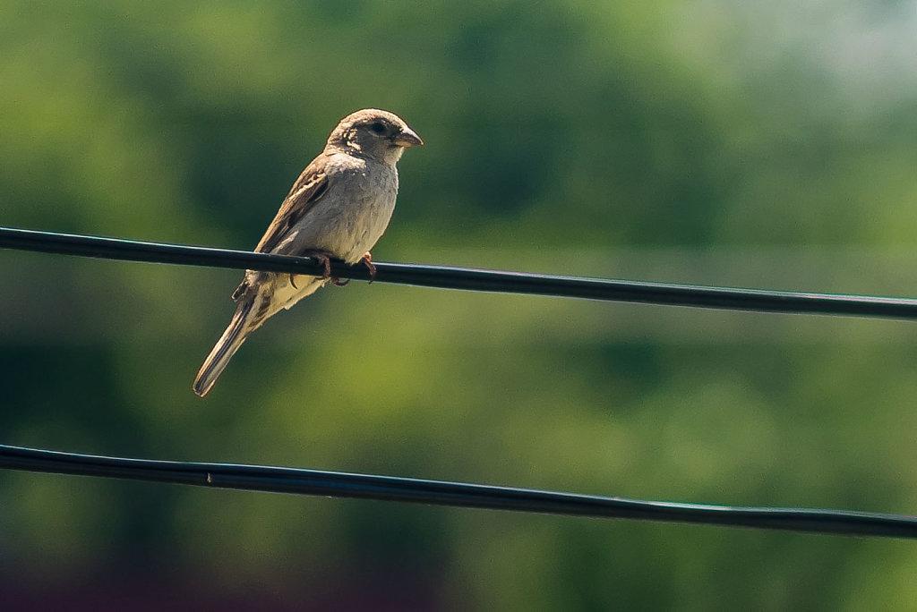Common Sparrow - 1:1 Crop
